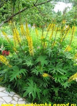 БУЗУЛЬНИК ПРЖЕВАЛЬСКОГО (Ligularia przewalskii) растение с изящными, сильно разрезанными остропальчатыми листьями на тонких красно-коричневых черешках, высота с цветоносами до 1,2 м, цветет с конца июня около 30 дней, ЦЕНА 150-200 руб. (делёнка)