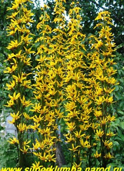 БУЗУЛЬНИК ГИБРИДНЫЙ (Ligularia Hybride)  темно-коричневые цветоносы с желто-коричневыми цветами. ЦЕНА 200-250 руб (делёнка)