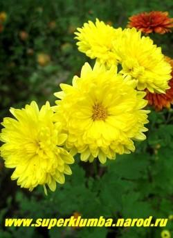 """Хризантема """"СВЕМБА КАРС"""". В конце цветения у цветка этого сорта часто появляется небольшая желтая серединка. НЕТ В ПРОДАЖЕ"""