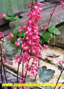 """Гейхера """"БЛУБЕРРИ МАФФИН"""" (Heuchera """"Blueberry Muffin"""") цветет в июне-августе очень нарядными малиновыми колокольчиками. ЦЕНА 300 руб (куст) НЕТ   НА ВЕСНУ"""