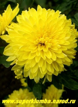 "Хризантема ""ЖЕЛТАЯ КРУПНОЦВЕТКОВАЯ""  Цветок крупным планом.  ЦЕНА  250 руб (1 шт)"