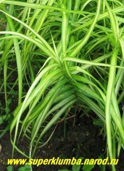крупным планом ОСОКА ПАЛЬМОЛИСТНАЯ «Вариегата»(Carex muskingumensis «Variegata»).  ЦЕНА 200-250 руб (делёнка)
