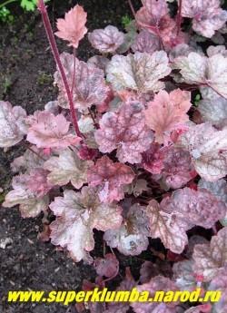 """Гейхера """" РЕГИНА"""" (Heuchera """"Regina"""") Сорт, сочетающий красивую листву и обильное цветение. Некрупные округлые пурпурно-розовые листья с большими серебряными пятнами и пурпурной подкладкой, высота 15-20см. Цветки колокольчатые крупные, розового цвета. ЦЕНА 250-300 руб (куст)"""