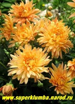 """Хризантема """"ГЕЛИОС"""" . Желтые с оранжевым оттенком цветы астровидной формы, диаметр 7 см, насыщенность цвета часто варьирует а зависимости от условий. Высота 60-70см, На зиму желательно профилактическое укрытие. НОВИНКА! ЦЕНА 250 руб (1 шт)"""