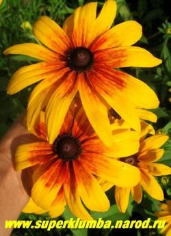 РУДБЕКИЯ ГИБРИДНАЯ №5 (Rudbeckia x hybrida) желтые цветы с терракотовым румянцем в центре, усиливающимся в процессе цветения до темно вишневых, диаметр цветка 10-11 см, высота до 90 см, цветет июль-август.  ЦЕНА 150 руб. (делёнка)