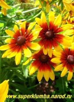 РУДБЕКИЯ ГИБРИДНАЯ №6 (Rudbeckia x hybrida) Фото в начале цветения. Необычная меняющаяся расцветка , желтые с терракотовой серединкой в начале роспуска, цветки в процессе цветения темнеют и в центре проступает рисунок небольшого цветка, диаметр цветка 10-11 см, высота до 90 см, цветет июль-август.  НЕТ  В ПРОДАЖЕ