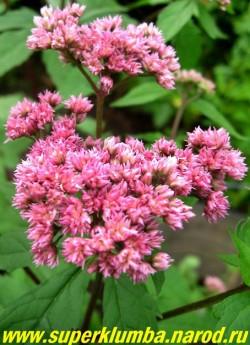 """ПОСКОННИК КОНОПЛЕВЫЙ """"Флоре Плено"""" (Eupatorium cannabinus """"Flore Pleno"""") посконник с махровыми розовыми цветами и более длительным цветением, высота до 150 см, цветет июль-август. ЦЕНА 300 руб (делёнка)"""