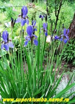 ИРИС СИБИРСКИЙ (Iris sibirica)   изящные синеголубые с узором из жилок цветы, жесткая прямостоячая листва. Неприхотлив. Цветет июнь-июль, высота до 80см, Его куртины украсят и любой водоем, и клумбу многолетников. ЦЕНА 150-200 руб (делёнка)
