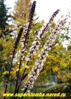 """цветет КЛОПОГОН """"Брюнетт"""". Белые с розовым оттенком соцветия- свечи, появляются в конце августа, начале сентября. ЦЕНА 450 руб (делёнка)"""
