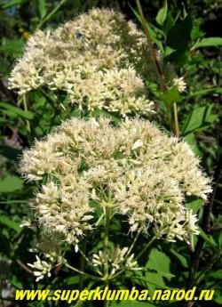 """ПОСКОННИК ПЯТНИСТЫЙ """"Белый"""" (Eupatorium maculatum """"Album"""") крупный посконник со стеблями до 2 м в высоту, цветет белыми пушистыми шапками в конце лета.  ЦЕНА 300 руб (делёнка)"""