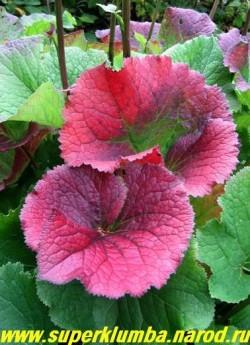 БУЗУЛЬНИК ГИБРИДНЫЙ (Ligularia Hybride)  осенью его листва эффектно краснеет, поэтому не торопитесь с обрезкой куста. ЦЕНА 200-250 руб (делёнка)