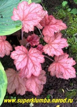 """Гейхера """"ДЖОРДЖИЯ ПИЧ"""" (Heuchera """" Georgia Peach"""") очень яркие округло-зубчатые листья розово-оранжевые с белой подкладкой весной и ранним летом, к осени меняющими свой цвет на винно- розовый, цветы кремово-белые, тень-полутень. Нарастает медленно, гибрид H. villosa. Высота куста 15-20 см.  НЕТ  В ПРОДАЖЕ"""