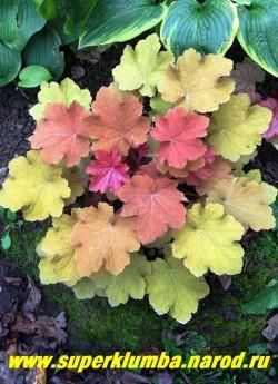 """Гейхера """"КАРАМЕЛЬ"""" ( Heuchera """"Caramel"""")  Молодые листики с красным оттенком, взрослые янтарно-желтых тонов. Отличительная черта этого сорта – «пушистые» на ощупь листья. Нежнорозовые цветы. Предпочитает полутень, в тени листья бледнеют, цв. июнь-июль, высота 15-20 см,  НЕТ  В ПРОДАЖЕ"""
