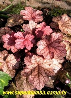 """Гейхера """"ЭНКОР"""" (Heuchera """"Encore"""") гейхера с крупными бархатистыми листьями от темно-розовых до светло-кофейных оттенков с серебристыми пятнами и пурпурной подкладкой. Цветки розовато-белые . ЦЕНА 300-350 руб (куст) НЕТ НА ВЕСНУ"""