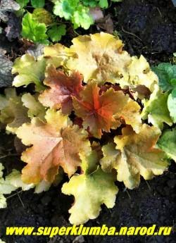 """Гейхера """"КРЕМ БРЮЛЕ"""" (Heuchera """"Creme Brulee"""") Персиковая листва разных оттенков с темной изнанкой. Листья с слегка гофрированным краем . Цветы кремовые., выcота 15-20 см,  НЕТ В ПРОДАЖЕ"""
