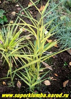 """ТРОСТНИК ЮЖНЫЙ """"Вариегатус"""" (Phragmites australis """"Variegatus"""") Эффектный сорт с голубовато-желтой листвой, высота 70-150см - чем сырее место, тем он выше. Цветет в августе крупными эффектными золотисто-розовыми метелками. Корневище ползучее, поэтому желательно ограничение места посадки. Зимостоек. ЦЕНА 200 руб (делёнка)"""