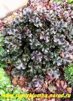 """Гейхера """"КАПУЧЧИНО"""" (Heuchera """"Cappuccino"""") Листья пурпурно-каштановые слегка волнистые, цветки кремовые на высоких цветоносах. Предпочитает полутенистое место, но выдерживает и более открытые места. ЦЕНА 250 руб НЕТ НА ВЕСНУ"""