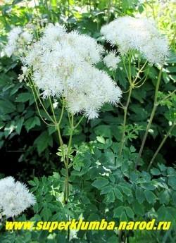 """ВАСИЛИСТНИК ВОДОСБОРОЛИСТНЫЙ """"Белый"""" (Thalictrum aquilegifolium) Красивые ажурные кусты до 120 см высотой, с крупными тройчатосложныеми сизо-зелеными листьями и крупными кипельно белыми пушистыми соцветиями. Цветет в июне-июле 30-35 дней. НОВИНКА! ЦЕНА 300 руб НЕТ  НА ВЕСНУ"""