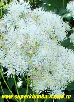"""ВАСИЛИСТНИК ВОДОСБОРОЛИСТНЫЙ """"Белый"""" (Thalictrum aquilegifolium) Соцветие крупным планом. НОВИНКА! ЦЕНА 300 руб НЕТ НА ВЕСНУ"""