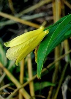 ТРИЦИРТИС КРУПНОЦВЕТКОВЫЙ (Tricyrtis macrantha subsp. macranthopsis)  В сентябре и октябре длинные до 50 см арочные стебли увенчаны большими, до 5см в длину ярко-желтыми колокольчиками, внутри испещренными красными крапинками.  Для успешного  цветения в Подмосковье необходимо теплое солнечное лето и место, защищенное от холодных ветров.   На зиму желательно профилактическое укрытие. НОВИНКА! ЦЕНА 500 руб (шт)