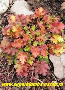 """Гейхера """"КЕЙ ЛАЙМ ПАЙ"""" (Heuchera """"Key Lime Pie"""") На фото весенняя оранжево-кирпичная окраска прошлогодней листвы. ЦЕНА 300-350 руб (куст) НЕТ НА ВЕСНУ"""