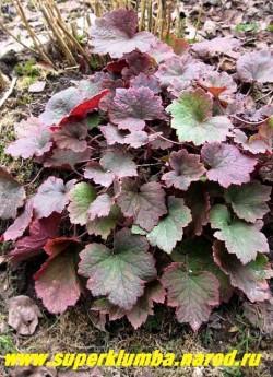"""ТЕЛЛИМА КРУПНОЦВЕТКОВАЯ """"Пурпуртепич"""" (Tellima grandiflora """"Purpurtepich'') более крупный сорт теллимы с краснеющей во второй половине лета листвой. НОВИНКА! ЦЕНА 250 руб (куст)"""