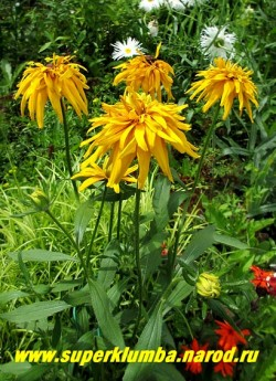 РУДБЕКИЯ ГИБРИДНАЯ №7 (Rudbeckia x hybrida) Кустик в саду. ЦЕНА 300 руб. (делёнка)