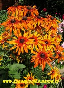 РУДБЕКИЯ ГИБРИДНАЯ №10 (Rudbeckia x hybrida) куст в нашем саду. ЦЕНА 250 руб. (делёнка)