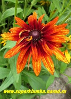 РУДБЕКИЯ ГИБРИДНАЯ №12 (Rudbeckia x hybrida) махровые терракотово-желтые крупные цветы с шоколадным центром, диаметр цветка 11-13 см, высота 60-70 см, цветет июль-август. ЦЕНА 250 руб. (делёнка)