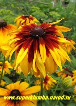 РУДБЕКИЯ ГИБРИДНАЯ №9 (Rudbeckia x hybrida) махровые желтые крупные цветы с широким шоколадным центром, диаметр цветка 12-14 см, высота 60-70 см, цветет июль-август. ЦЕНА 300 руб. (делёнка)