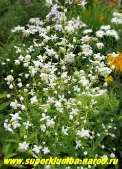 """ВАСИЛИСТНИК ДЕЛАВЕЯ """"АЛЬБУМ"""" (Thalictrum delavayi """"Album"""") Белые колокольчатые цветки с пушистыми тычинками собраны в крупное, рыхлое, метельчатое соцветие. Нижние листья дважды или трижды перистые. Высота куста до 1м. Цветет в июле -августе 60-65 дней . Зимостоек. ЦЕНА 600 руб   НЕТ В ПРОДАЖЕ"""