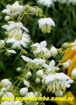 """ВАСИЛИСТНИК ДЕЛАВЕЯ """"АЛЬБУМ"""" (Thalictrum delavayi """"Album"""") Цветы крупным планом. Издалека соцветие похоже на рой белых мотыльков. ЦЕНА 600 руб НЕТ В ПРОДАЖЕ"""