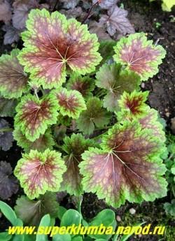 """Гейхера """"ЭКО-МАГНИФИФОЛИЯ"""" (Heuchera Eco-Magnififolia) Цвет листвы сильно меняется в зависимости от сезона. Зеленые листья с пурпурными жилками разной степени интенсивности, иногда лист полностью пурпурный со светло-зеленым кантом по краю. Цветы мелкие, зеленоватые. Высота 15-25см.  ЦЕНА 250-300 руб  (куст)"""