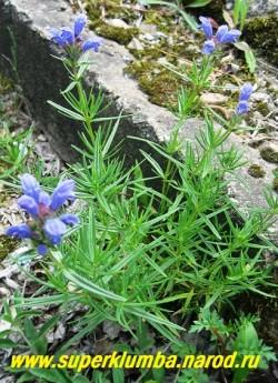 ЗМЕЕГОЛОВНИК АРГУНСКИЙ (Dracocephalum argunense) невысокий кустик с крупными лазурно-синими цветами напоминающими по форме голову змеи (отсюда и название) ,собранными в верхушечные соцветия . Листья мелкие кожистые ланцетные, высота куста до 25см. Цветет в июле. РЕДКОЕ! НЕТ В ПРОДАЖЕ