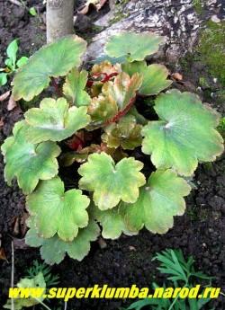 """КАМНЕЛОМКА КОРТУЗОЛИСТНАЯ """"Рубрифолия"""" (Saxifraga cortusifolia """"Rubrifolia"""") очень похожая на гейхеры камнеломка с декоративной красиворассеченной лопастной глянцевой оливково-зеленой листвой с ярко-малиновой изнанкой и малиновыми черешками. Цветет в сентябре ажурными соцветиями из белых цветов на довольно высоких цветоносах . ЦЕНА 250 руб (делёнка)"""