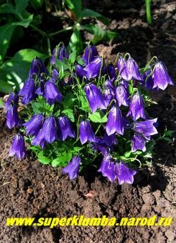 КОЛОКОЛЬЧИК ТЕМНЫЙ (Campanula рullа) , очаровательный миниатюрный колокольчик всего 5-7см в высоту, при этом с крупными (длиной 3 см) темно- фиолетовыми цветами , цветет июнь-июль, не любит застоя влаги, хорошо растет на горке и в рокарии. предпочитает солнце-полутень. ЦЕНА 300 руб.