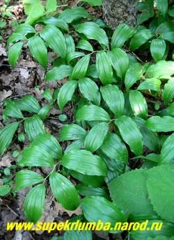 КУПЕНА ВОЛОСИСТАЯ (Polygonatum hirtum) Очень редкая в садах красивая низкая разновидность купены с наклоненным стеблем высотой до 20 см , и крупными белыми цветами собранными в пазухах листьев. Цветет в начале лета . НОВИНКА! ЦЕНА 200 руб (1шт)