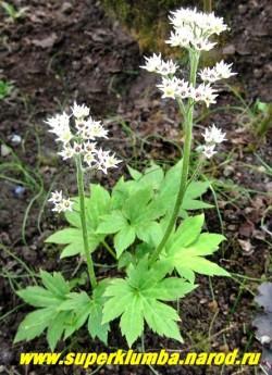 МУКДЕНИЯ РОССИ или КЛЕНОЛИСТНИК (Mukdenia rossii) кожистые листья похожие на кленовые, осенью также эффектно краснеют. Цветет весной белыми цветами собранными в плотные соцветия. Предпочитает влажную полутень. ЦЕНА 300 руб НЕТ НА ВЕСНУ