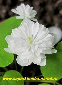 """АНЕМОНЕЛЛА ВАСИЛИСТНИКОВАЯ """"Вайт Дабл"""" (Anemonella thalictoides """"White double"""") Очень элегантные густо махровые кипельно белые цветки. Высота 12-15см. Цветет длительно с мая по июль. НОВИНКА!  НЕТ  В ПРОДАЖЕ"""
