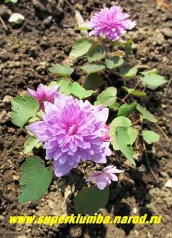 """АНЕМОНЕЛЛА ВАСИЛИСТНИКОВАЯ """"Оскар Шоаф"""" (Anemonella thalictroides """"Oscar Schoaf"""") редкое изящное, долгоцветущее весеннее растение. Цветет с мая по июль. Цветы густомахровые, сиренево-розовые диаметром 2,5 см, высота 12-15см.  ЦЕНА 1500 руб. НЕТ НА ВЕСНУ"""
