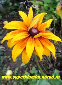 РУДБЕКИЯ ГИБРИДНАЯ №11 (Rudbeckia x hybrida) махровые желтые цветы с терракотовым румянцем центре, усиливающимся в процессе цветения до темно вишневых, диаметр цветка 10-11 см, высота до 90 см, цветет июль-август, НОВИНКА! ЦЕНА 250 руб. (делёнка)