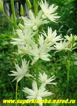 """КАМАССИЯ ЛЕЙХТЛИНА """"Семиплена"""" (С. leichtlinii semiplena) кремово- белая махровая, очень красивая и редкая камассия , высота до 70 см, цветет в июне махровыми цветами , собранными в растянутое до 40 см колосовидное соцветие, ЦЕНА 700 руб (1 цветущая луковица)"""