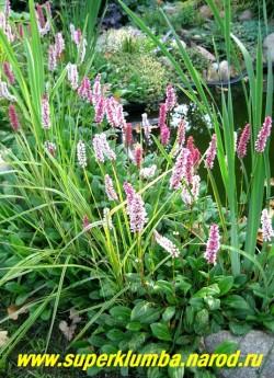 ГОРЕЦ РОДСТВЕННЫЙ (Polygonum affine) миниатюрное почвопокровное растение высотой с цветоносами не более 20 см высотой . Цветки бледно-розовые, к концу цветения красные, собраны в плотные колосовидные соцветия 6-10 см длиной. Цветет с мая 80-90 дней. ЦЕНА 250 руб. НЕТ НА ВЕСНУ