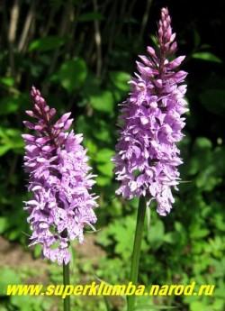 ПАЛЬЧАТОКОРЕННИК ПЯТНИСТЫЙ (Dactylorhiza maculata), красивая орхидея с сиреневыми цветами собранными в плотное соцветие колос, высота до 50 см, цветет июнь-июль, предпочитает полутень. ЦЕНА 300 руб