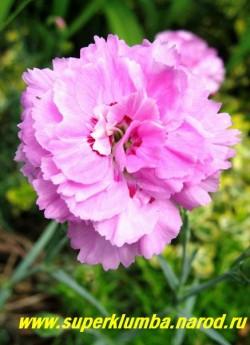 """ГВОЗДИКА АЛЬВУДА """"Дорис"""" (Dianthus allwoodii """"Doris"""") крупные цветы диаметром 3,5-4 см, никогда не разваливаются. ЦЕНА 200-250 руб  (1 делёнка)"""