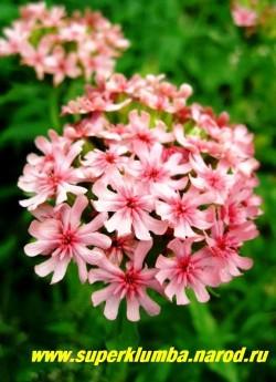 """ЛИХНИС ХАЛЦЕДОНСКИЙ или ЗОРЬКА """"Розовый"""" (Lychnis chalcedonica) цветки пастельно-розовые до 2 см в диаметре. Цветет июнь-июль, высота 80-100 см. ЦЕНА 250 руб (1 дел.)"""