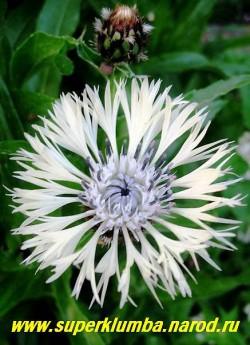 """ВАСИЛЕК ФИШЕРА """"Альба"""" (Centaurea Fischeri """"Alba"""") белый с темно-сиреневыми тычинками, хорош для срезки и аранжировки букетов, цветение продолжительное в июне-июле, высота до 70 см, крупные душистые цветы диаметром  до 10 см, ЦЕНА 150-200 руб (1 делёнка)"""