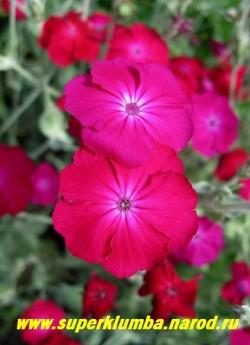"""цветы ЛИХНИСА КОРОНЧАТОГО """"малинового"""" (Lychnis coronaria) Диаметр цветка 2,5-3 см . Этот лихнис хорошо растет на неплодородной почве, очень обильно и долго цветет. Зимостоек. Неприхотлив. ЦЕНА 150 руб (1 кустик)"""
