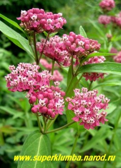ВАТОЧНИК МЯСО-КРАСНЫЙ (Asclepias incarnata)  высокое травянистое растение с супротивными продолговатыми листьями и розово-пурпурными ароматными цветами собранными в соцветие зонтик, высота до 1,2 м, растет компактным кустом, цветет в июле-августе в течении 30-35 дней, ЦЕНА 250 руб (делёнка)