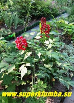 ВОРОНЕЦ КРАСНОПЛОДНЫЙ (Actaea erythrocarpa) красивый куст высотой до 70см, с трижды тройчатоперистыми листьями, особенно декоративный в августе - сентябре, когда созревают блестящие ярко-красные плоды собранные в кисти. Цветет в начале лета белыми пушистыми цветами. ЦЕНА 300 руб